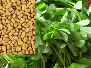 Пажитник - полезные свойства и противопоказания. Семена и листья